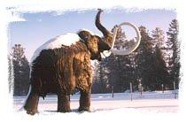 A family of life-size wooly mammoths frolic in the snow outside the Beringia Centre in Whitehorse
